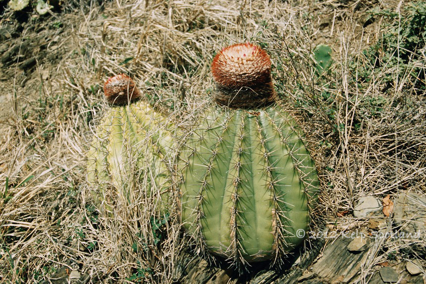 Cactii, Great Thatch