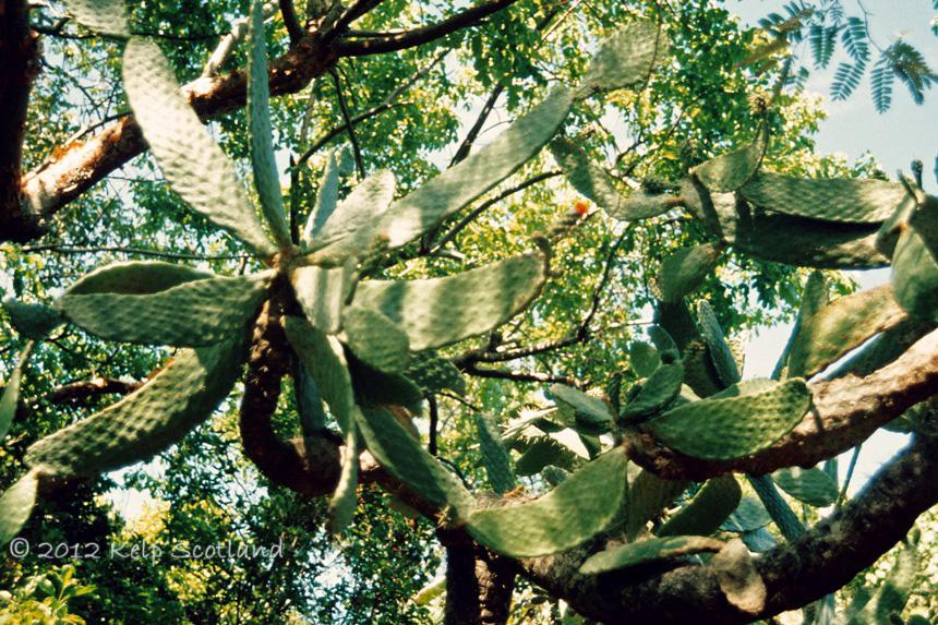 Cactus, Peter Island