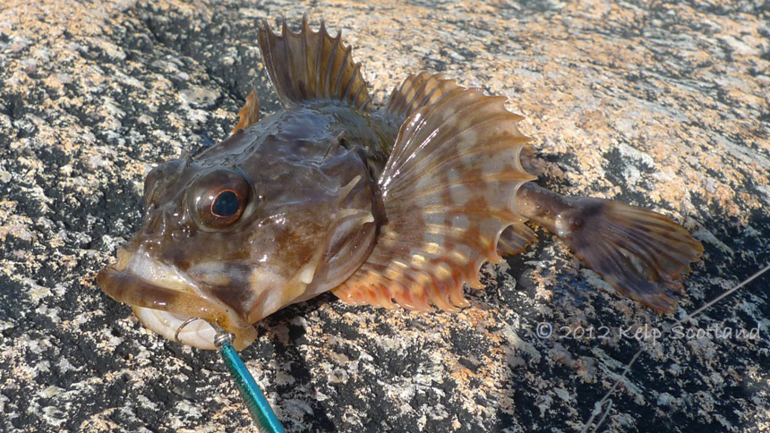 Short Horned Sculpin