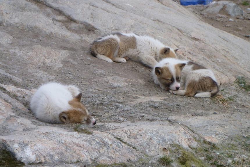 Sled Pups, Illulisat