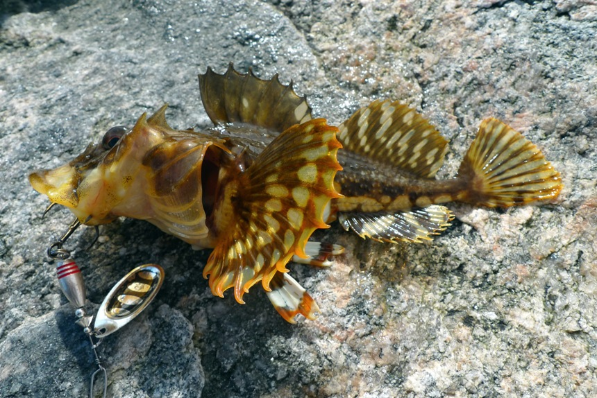 Short-Horned Sculpin
